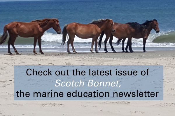 Image of horses on Corolla. Link to Scotch Bonnet, the marine education newsletter