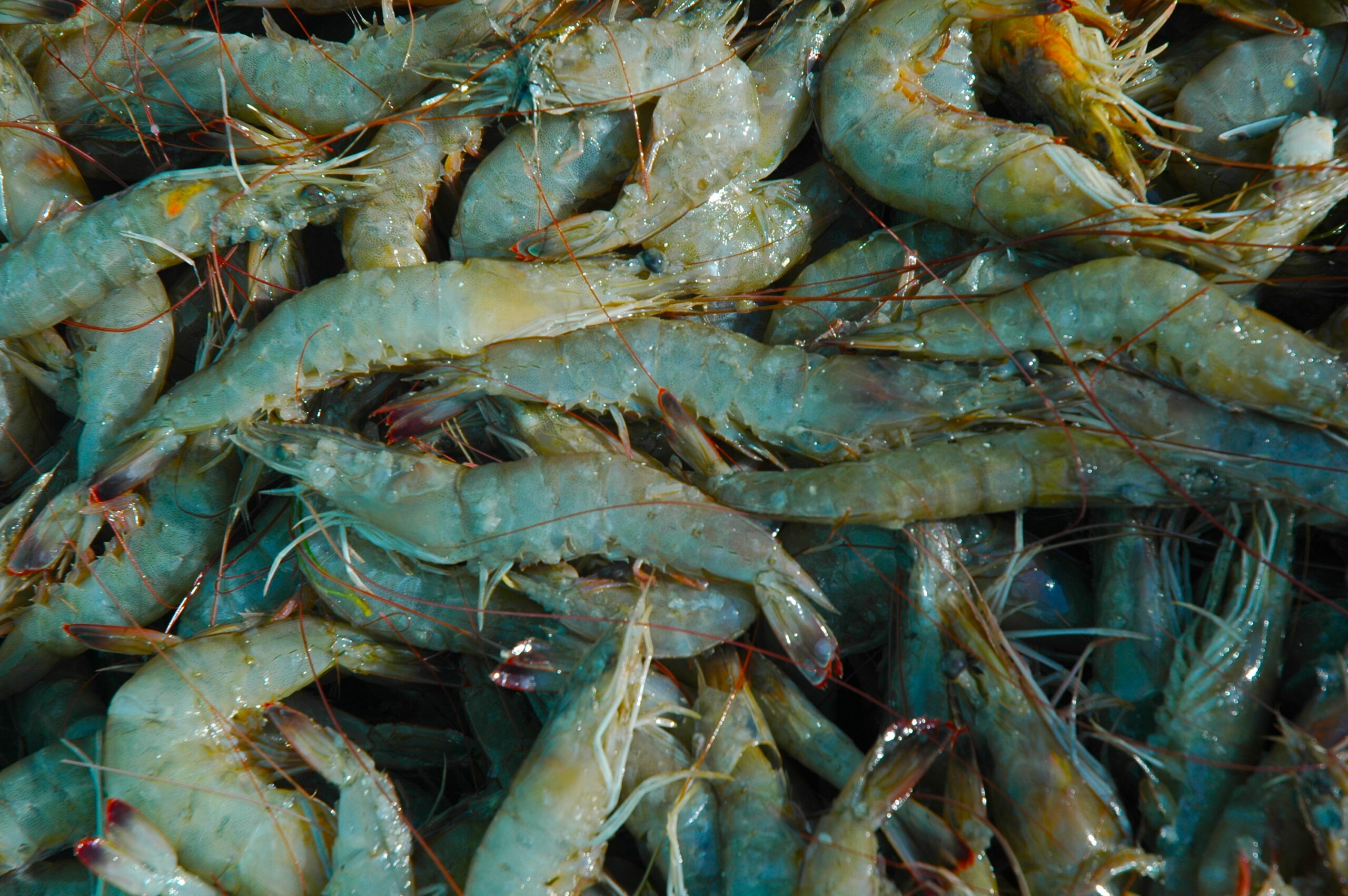 Shrimp. Credit: Barry Nash