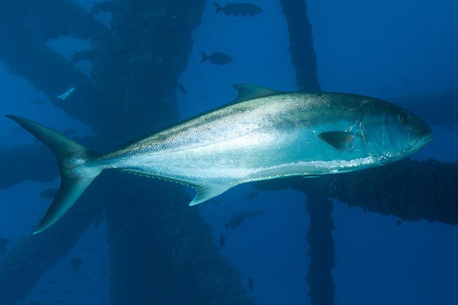 Greater amberjack. Photo credit: NOAA